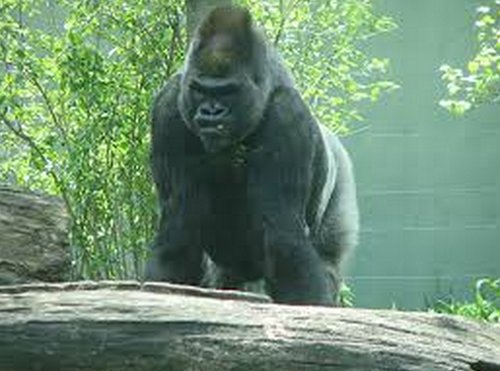 Gorilla Webcam
